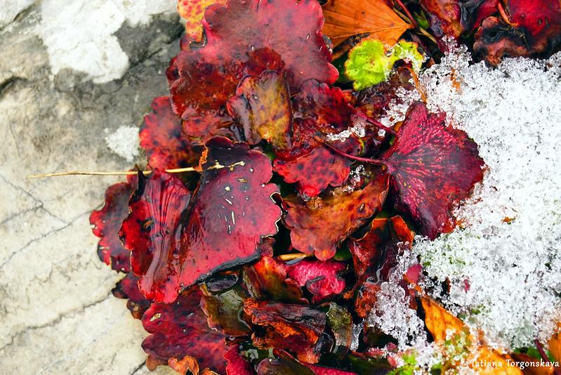 Красные листья и снег на камне