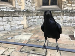 Raven at The Tower of London 19-1-19