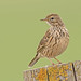 Meadow Pipit by drbut