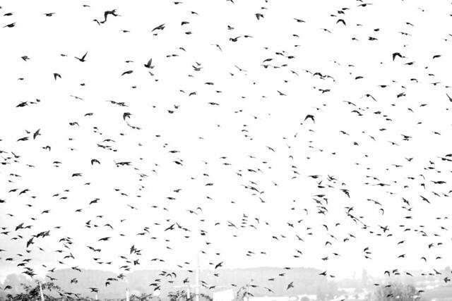 Paysages-Nuée Oiseaux Wavre_001, Canon EOS 80D, Sigma 105mm f/2.8 EX DG OS HSM Macro
