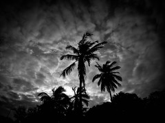 Reunion palm trees