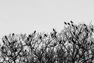 Crows disguised as leaves.