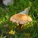 Mushroom, cap splitting radially