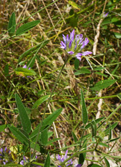 Pitch trefoil (Psoralea bituminosa), Chateau de Puivert - Photo of Nébias