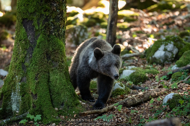 Brown Bear from Slovenia ??, Canon EOS 5D MARK IV, Canon EF 300mm f/2.8L IS