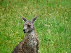 2010 10 31 Kangaroos (8) edit2