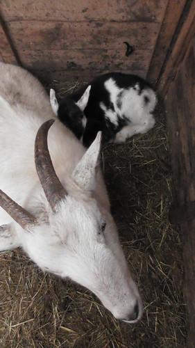 baby goat Jan 19 (2)
