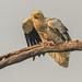 Egyptian vulture by Donna Hampshire