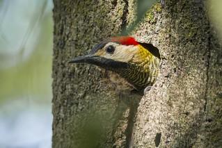 Colaptes rubiginosus - Golden-olive Woodpecker – Carpintero cariblanco.