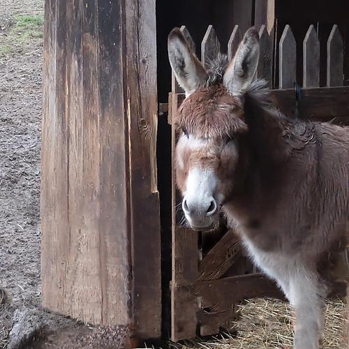 A curious donkey