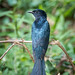 Square-tailed Drongo-cuckoo by BP Chua