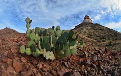 Castolon Peak Prickly Pear