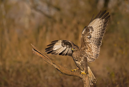 Common Buzzard: Buteo buteo (Explored)
