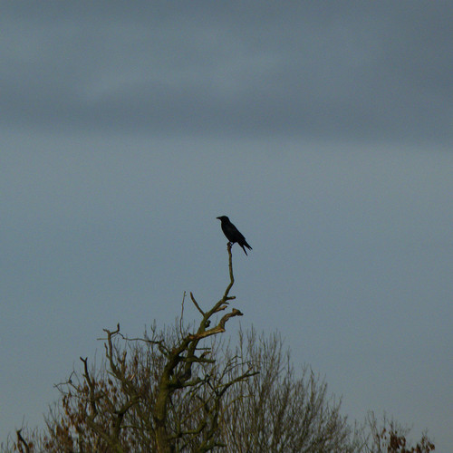 Treetop carrion crow