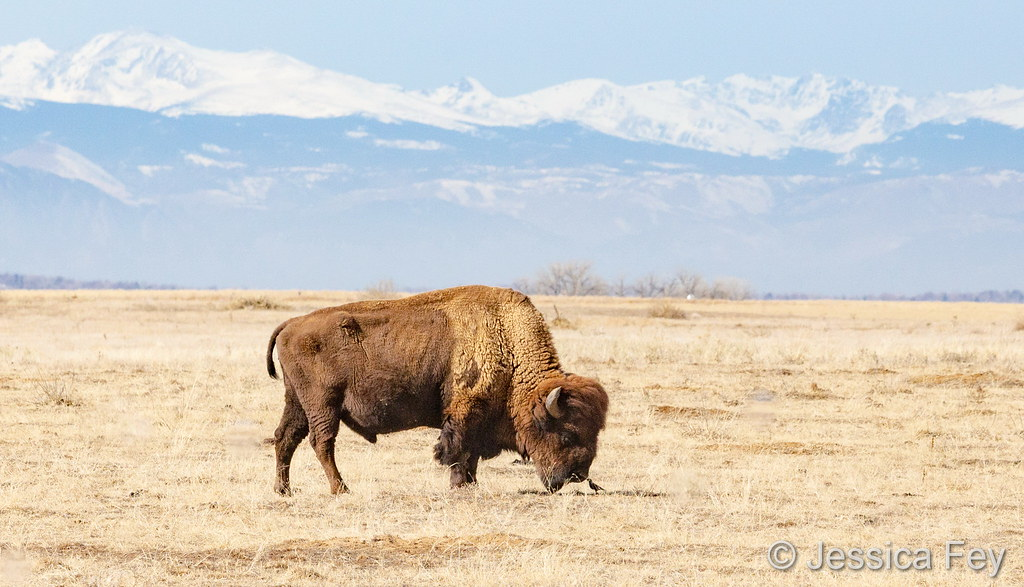 February 4, 2019 - A bison and bird boop noses on a mild winter day. (Jessica Fey)