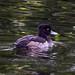 Tufted Duck F00451 Fairburn Ings D210bob DSC_4993