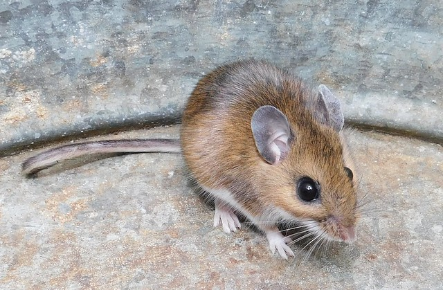 White-footed mouse in Montgomery Co. (12/7/2018) Bell Bluff Rd. Gaithersburg Quad