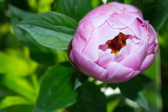 Garden 3 Rose Thomas, Nikon D800, AF-S Micro Nikkor 60mm f/2.8G ED