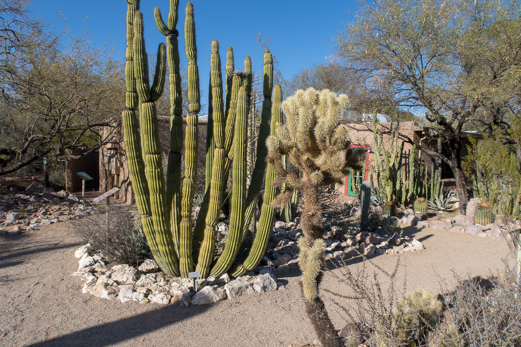 Cactus at Tucson Botanical Garden