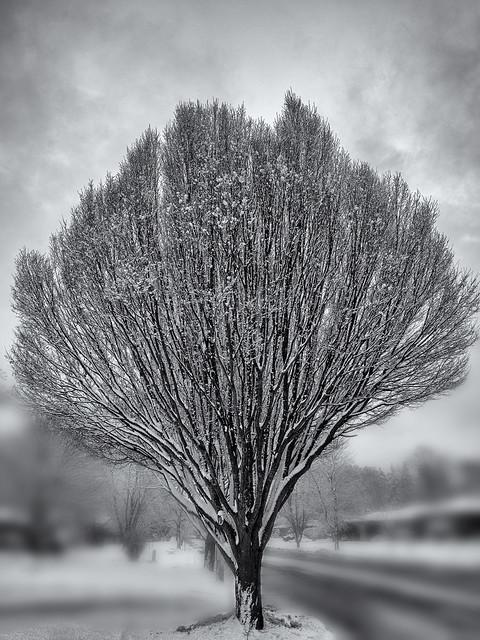 _DSC3128 Ornamental Pear Tree, Sony ILCE-7R, Sony FE 16-35mm F4 ZA OSS