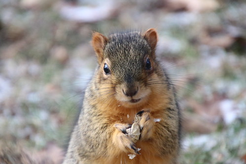 Fox Squirrels in Ann Arbor on Autumn days at the University of Michigan - December 6th & 7th, 2018
