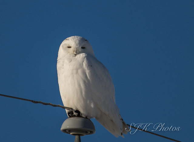 Snowy Owl  Explore 31/01/19, Canon EOS 6D MARK II, Canon EF 100-400mm f/4.5-5.6L IS II USM