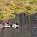 Three Wigeons at the Confluence of Gruggies Burn and the River Clyde