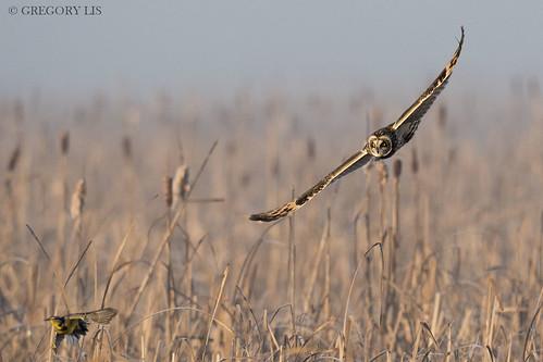 Short-eared Owl and Western Meadowlark