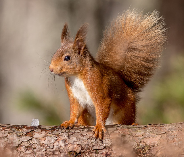 JWL8971  Red Squirrel..
