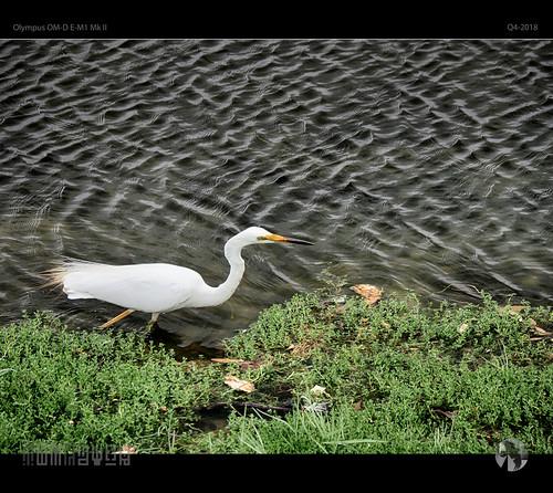 Heron In Motion