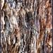 Bark-hugging St. Andrew's Cross (Argiope ocyaloides) by caitlinhenderson