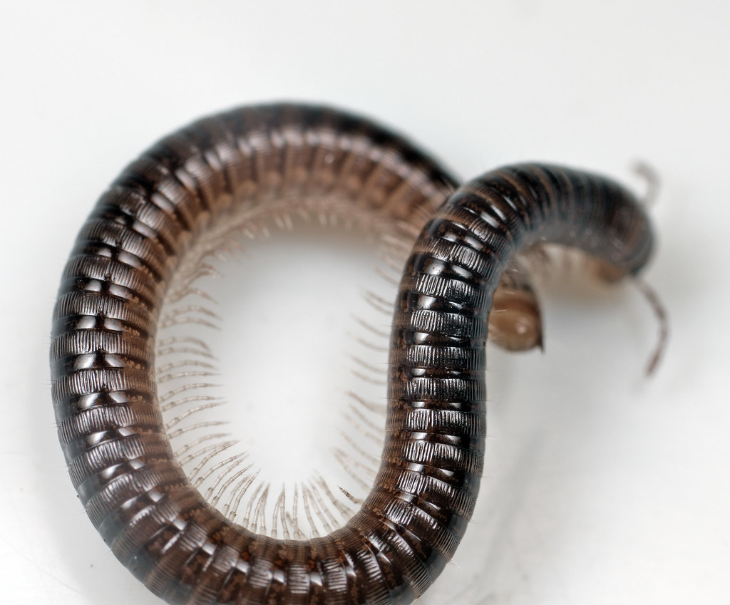 White-legged Snake Millipede