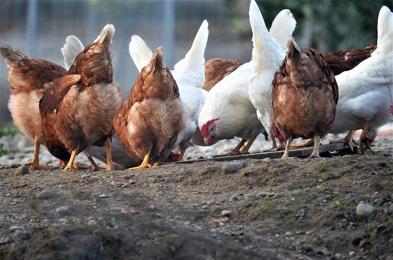 Chickens 20.11 (2)