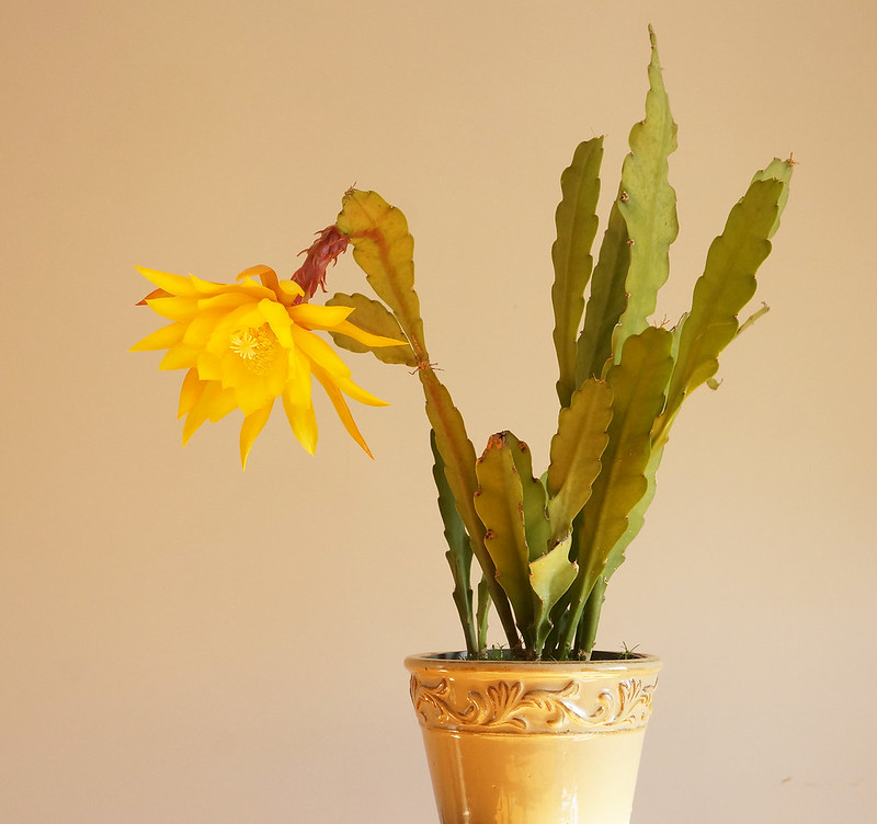 yellow orch-cactus
