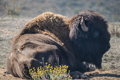 American Bison, also known as Buffalo