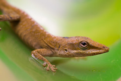 Poolside Anole