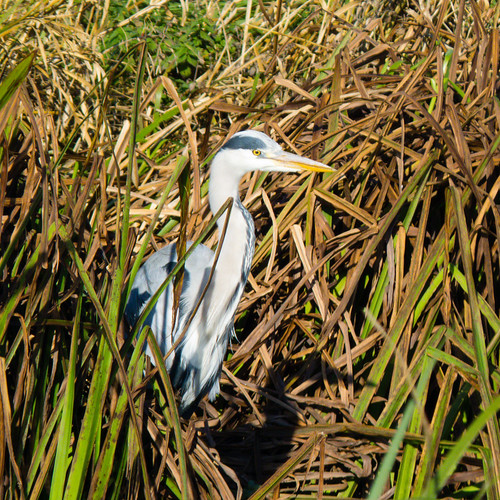 Confident heron, Doxey Marshes