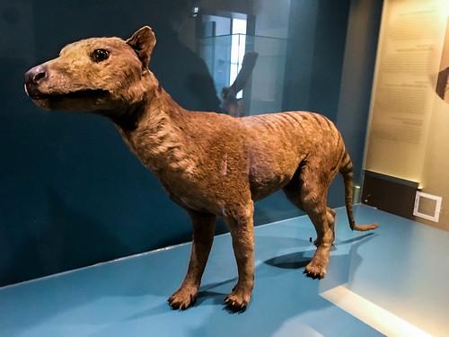 Lobo de Tasmania