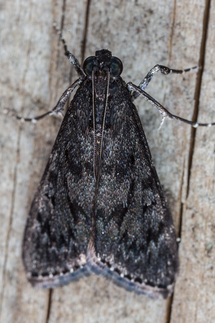 Pyralid moth?