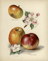 The fruit grower's guide : Vintage illustration of king of pippins apple