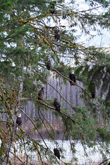 Squamish Eagles