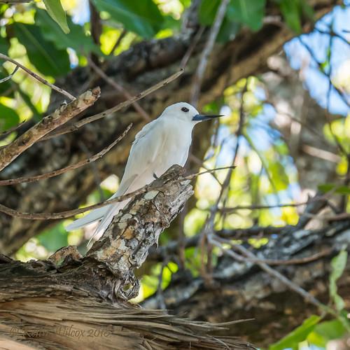 White Tern 2 (Gygis alba)