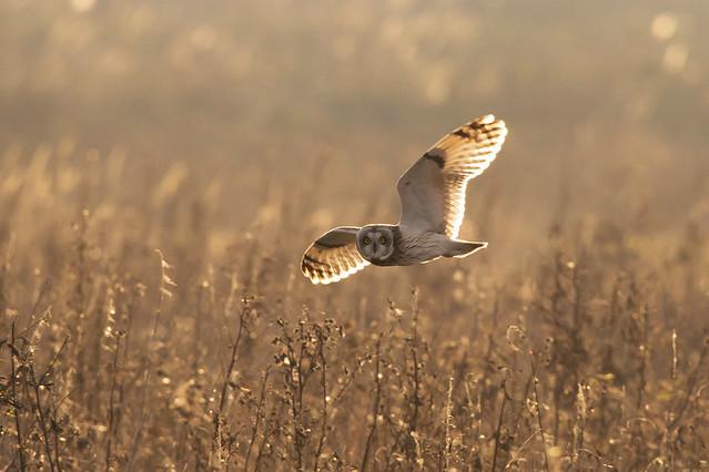 Short Eared Owl Explored, Canon EOS 5D MARK III, Sigma 150-600mm f/5-6.3 DG OS HSM | S