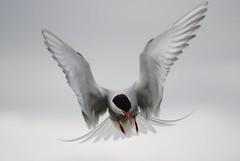 Lisa Arctic Tern