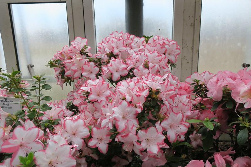 """Rhododendron simsii """"Sachsenstern"""""""