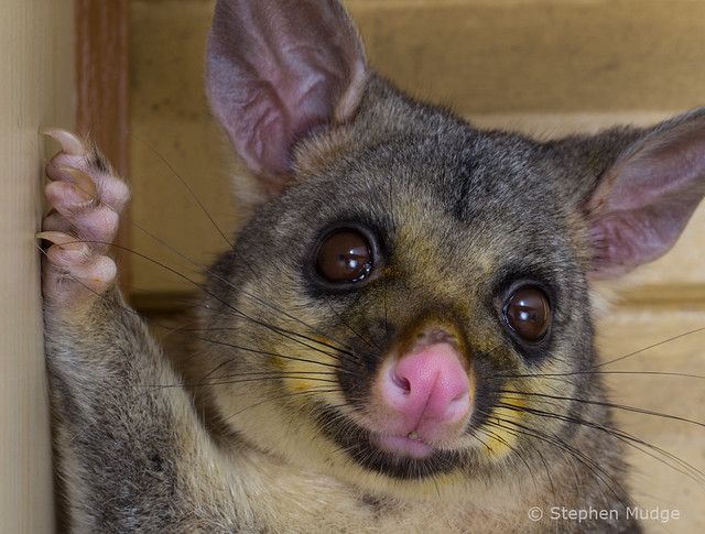 Brushtail Possum on our deck #1
