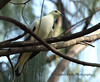 Pied Imperial Pigeon, Ducula bicolor