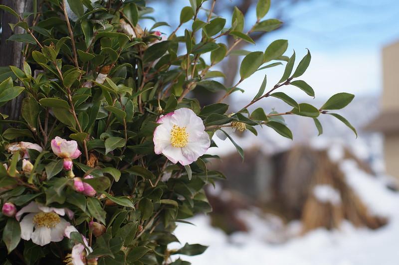 雪囲いされてもなお花を咲かせる_201812_NO1