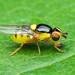 Grass Fly - Thaumatomyia sp. (Chloropidae, Chloropinae) 118z-6184624 by Perk's images