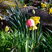 A tulip among the daffodils